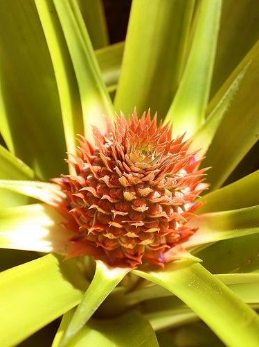 Benefícios do abacaxi para saúde