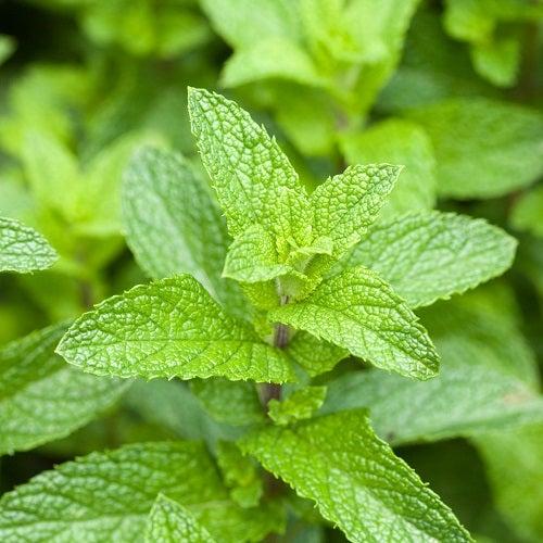 Benefícios do chá de menta