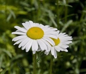 Flores para aliviar a dor de estômago