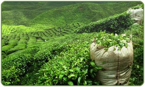 Chá verde para limpar o fígado