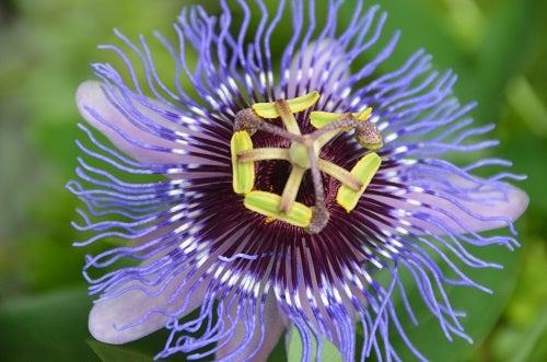 passiflora para desestressar