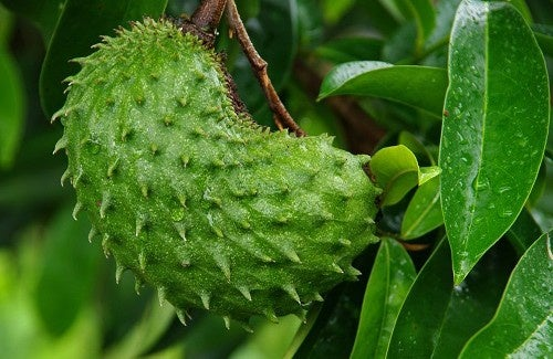 Benefícios de consumir a graviola, deliciosa fruta tropical