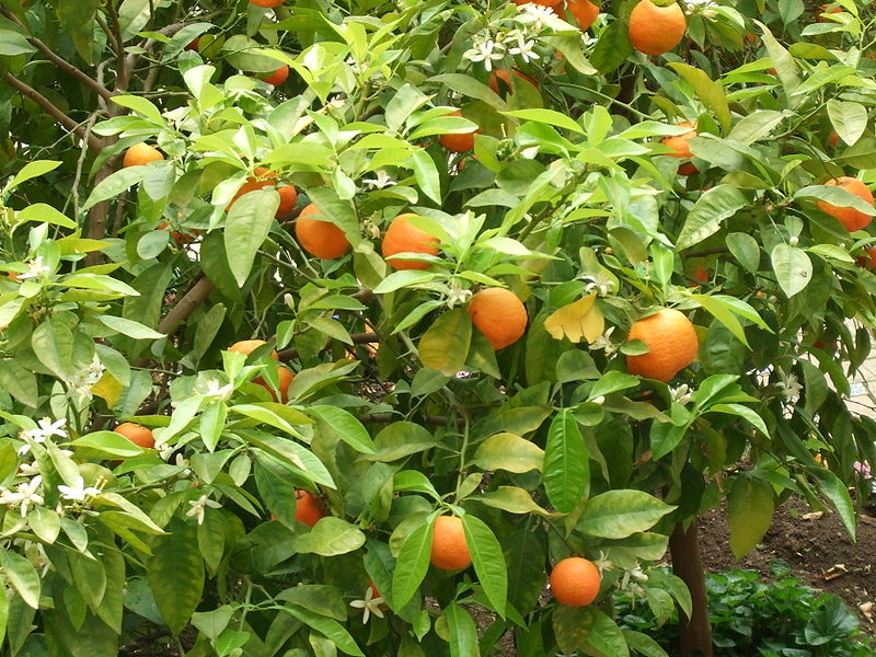 infusão de folhas de laranjeira para desestressar