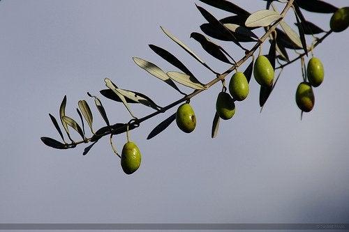 Variedades de azeitonas utilizadas na produção do azeite de oliva