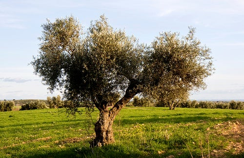 Azeite de oliva, o melhor da dieta mediterrânea