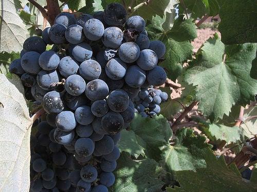 Notre-uva-negra