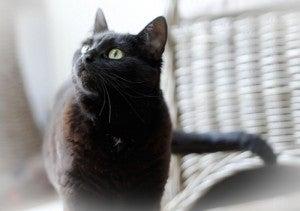 Azeite de oliva na saúde do gato