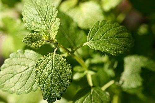plantas com o a erva cidreira podem atuar como calmante