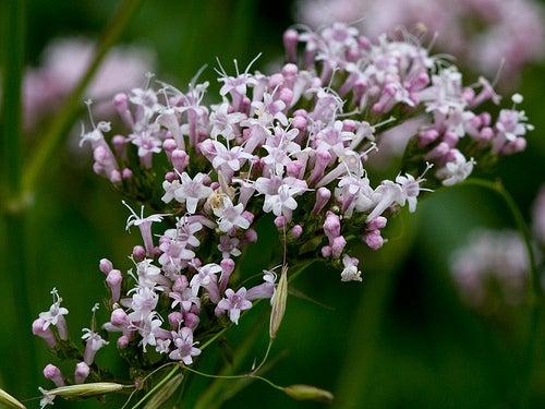 A valeriana é umas das plantas que possui efeitos sedativos.