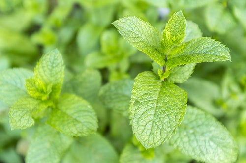Chá de hortelã é um dos descongestionantes nasais