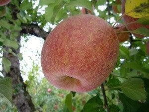 As maçãs são excelentes laxantes naturais