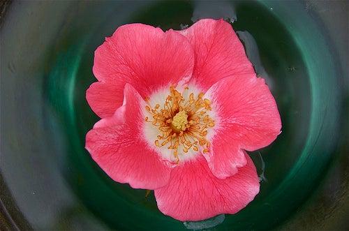 Água de rosas para manter o cabelo perfumado