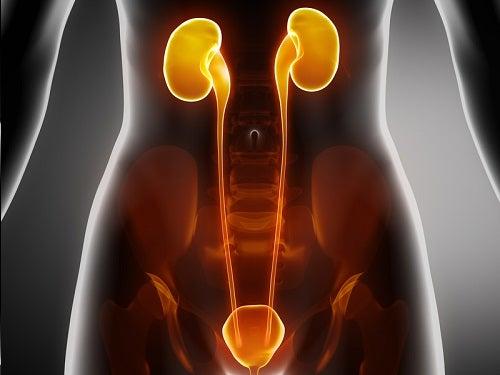 Tratamento para infecções na bexiga, na uretra e nos rins