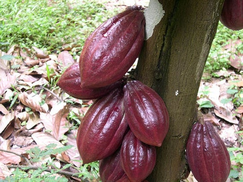 cacao-IITA-Image-Library