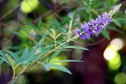 A planta pimenteiro-bravo pode ajudar no caso da menstruação atrasada