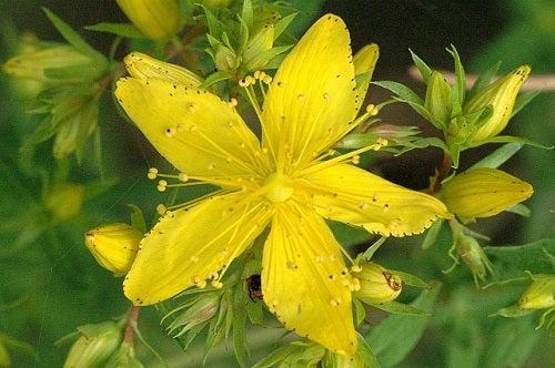 Como tratar a fibromialgia com ervas, hipérico