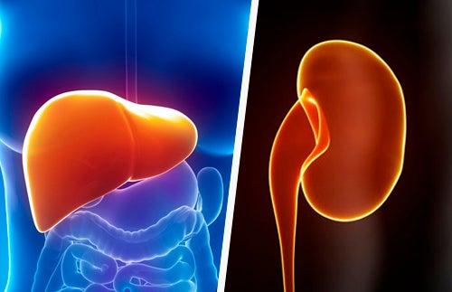 Como manter o fígado e os rins saudáveis