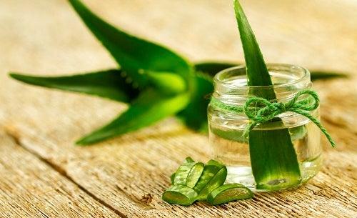 Aprenda a cultivar aloe vera em casa, você vai se encantar!