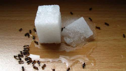 Repelentes naturais e econômicos para formigas
