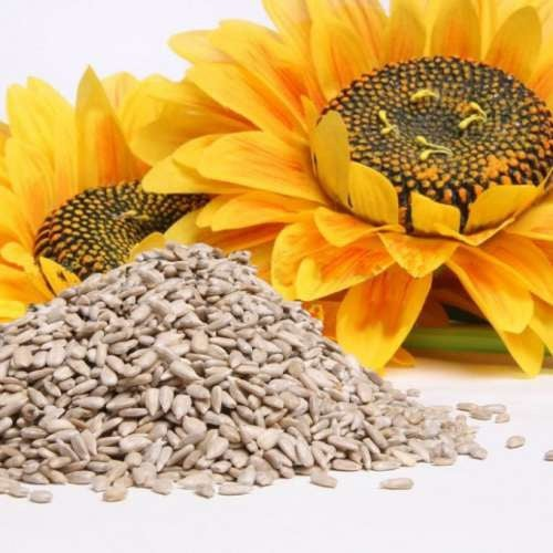 sementes-girassol