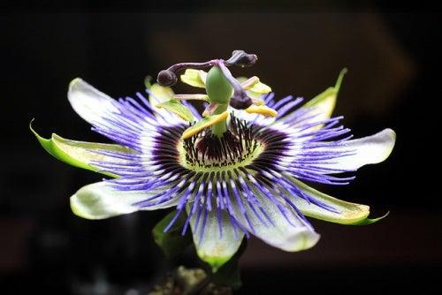 passiflora ajuda a Parar de fumar
