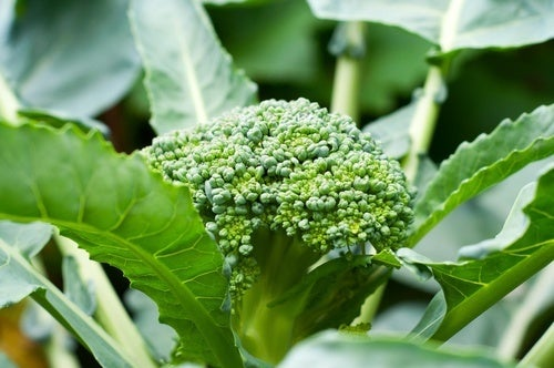 Como-incluir-hojas-de-brócoli-en-tu-dieta-500x332