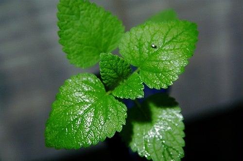 hortelã, ingrediente para potente bebida detox