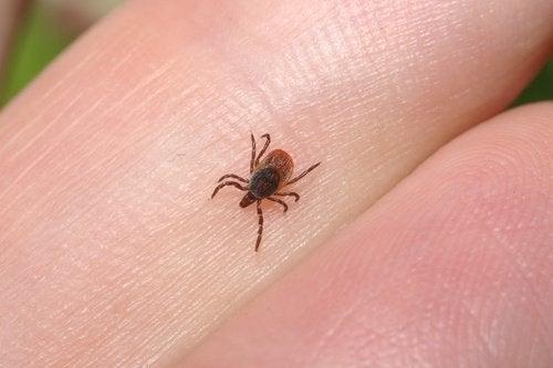 carrapato-e-doença de Lyme