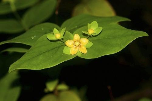 Flores de hipericão ajudam a aliviar a dor nos joelhos