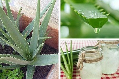 Como cultivar aloe vera em casa