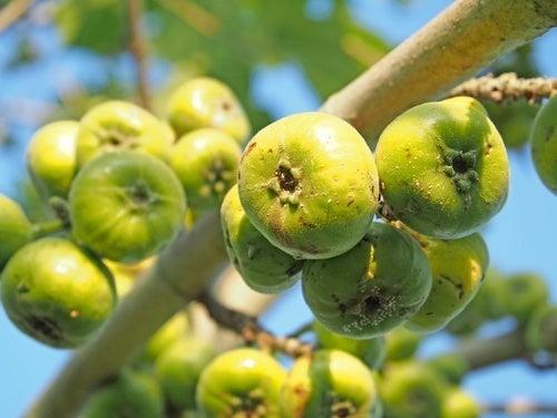 Leite de figo verde para combater as verrugas
