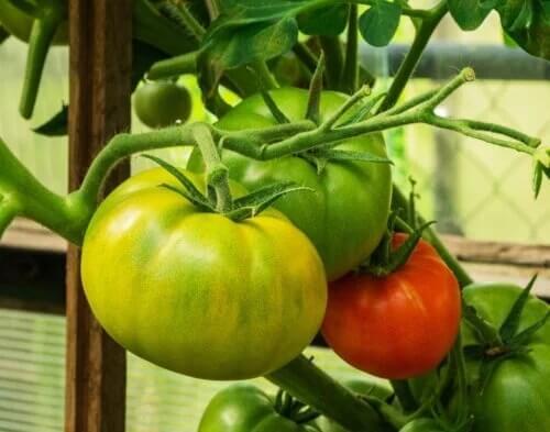 É possível reduzir as varizes com tomates verdes e vermelhos?