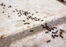 Repelentes naturais para combater as formigas