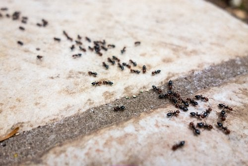 6 repelentes livres de químicos para combater as formigas
