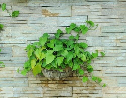 Planta-Jiboia-en-casa-500x387