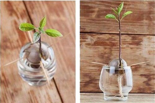 germinar-semente-abacate-usando-quatro-palitos