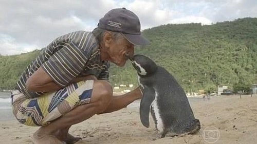 Pinguim nada 8 mil quilômetros todos os anos para visitar o homem que salvou sua vida