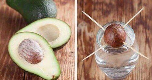 Como germinar uma semente de abacate usando quatro palitos