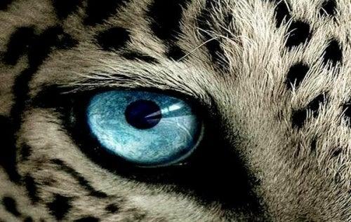 Olhos de guepardo
