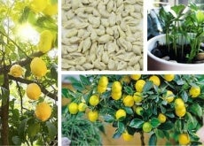 Como germinar sementes de limão e ter uma bela árvore no jardim
