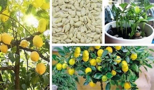 Como germinar sementes de limão para ter uma bela árvore em seu jardim