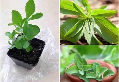 Como cultivar estévia em casa e aproveitar suas propriedades adoçantes