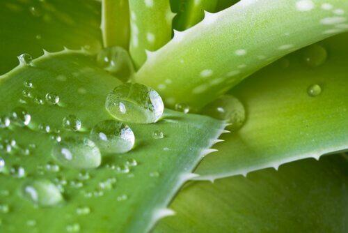 Quais benefícios obtemos do suco de aloe vera?