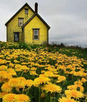 Casa em campo de flores amarelas