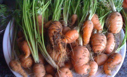 cultivar-cenouras-em-casa