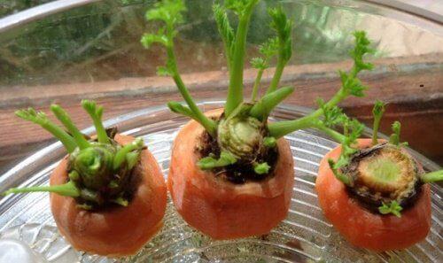 Como cultivar cenouras em casa: você gostaria de tentar?