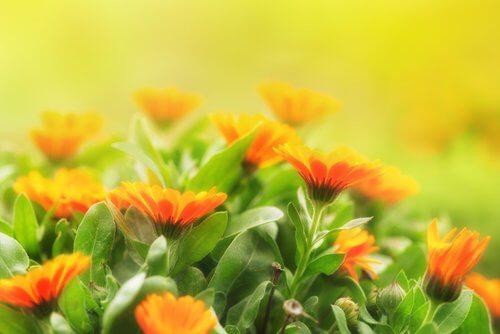 flores_de_calendula