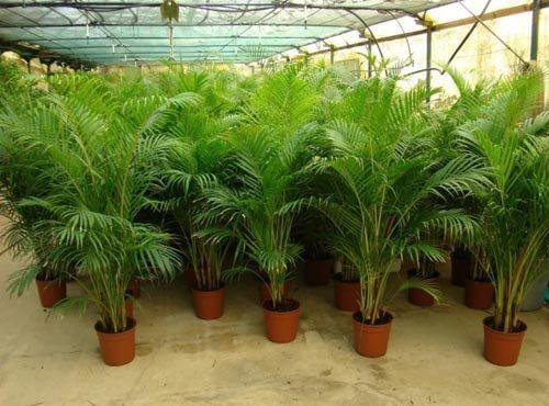 Planta palma areca