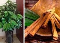 Aprenda a cultivar canela em casa