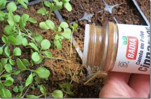 Você sabia que pode usar canela nas plantas?